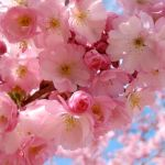 Cherry_Blossom_III_by_Livala